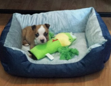 My pet puppy Rocky. The name of this type of dog is a pit bullie. Here he is in his bed with his favorite toy.