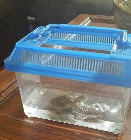 This is Jordyn's Floating Turtle. He is a fun pet and easy to take care of too.